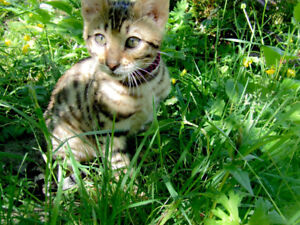 Striking Purebred Bengal Kittens for adoption to approved homes.
