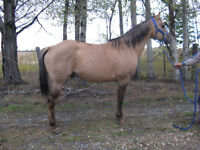Standing at Stud WSD SUGAR KING Quarter Horse Stallion