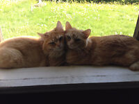 2 chats frères à vendre