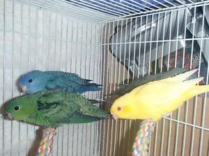 Breeding Lineolated Parakeets....
