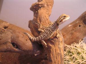 Bébés dragons barbus