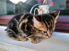 8 week old tabby kitten.