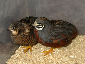 10 Button Quail and Cage