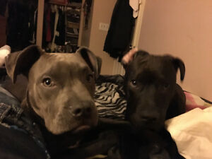Lost puppy blue noise pitbull