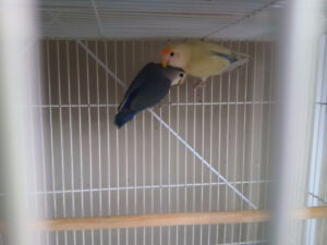 2 hand tame lovebirds with cage and stand.