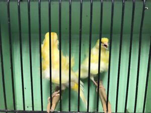 Fiorino and Dutch frill canaries for sale