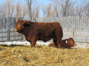 Polled Red and Black Bulls for Sale