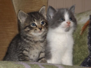 Main Coon Cross Kittens For Sale
