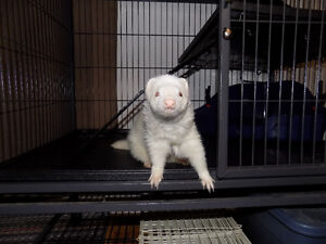 Ferret,cage and accessories