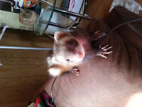 2 ferrets for sale (experience ferret owners please)