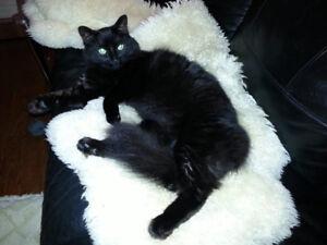 Lost black cat, Halton Hills
