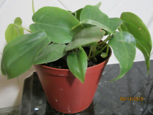 Heart Leaf (Philodendron) Low-Light- Air Purifying