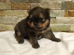 CkC Registered Pomeranian Puppies! Ready for Christmas!!