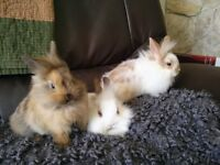 Absolutely Adorable Baby Bunnies for Sale!