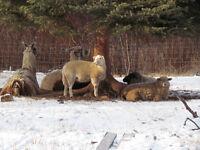 Yearling sheep, Ram & 3 Ewes, Bred