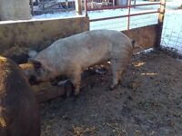 Boer pig for sale or trade