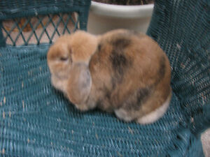 Free to Good Home Holland Lop Rabbit