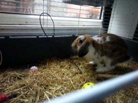 Adult male rabbit (mini lop)