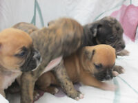 Valley Bulldog puppies      BOXER /OLDENGLISH  CROSS