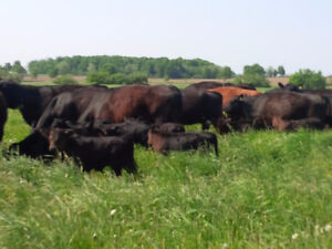 Grass Fed Beef Kitchener / Waterloo Kitchener Area image 5
