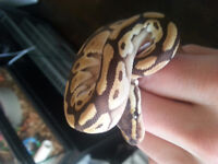 Ball python Spider Mohave male and lesser male CHEAP!