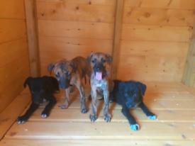 Bedlington, whippet, greyhound puppy's