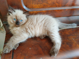 6 Pure Ragdoll Kittens - Ready to Leave Now