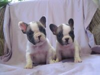 Show class French bulldog girls