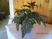 Elephant Ears Plant (Angel Wing Begonia) - ($10) Each