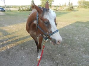 Registered Appaloosa Gelding