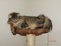 Siberian Forest Cat  Kittens Litters planned - reservations open