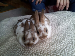 Pure Mini Rex Rabbits for Sale