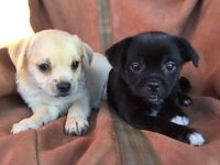 Gorgeous jug puppies for sale
