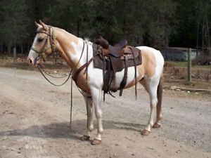 Registered Saddlebred Gelding