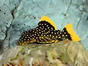 L177 Gold nugget plecos fish X2 available healthy rare Maribyrnong Maribyrnong Area Preview
