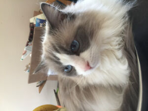 Beautiful female ragdoll cat for sale