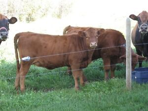 Steer Calf and Heifer Calf $900 each or $1700 for both