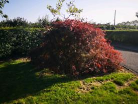 Japanese Acer - shrub plant tree garden