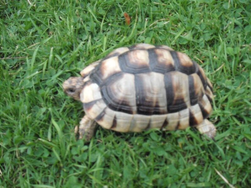 Marginated Baby Tortoises Marginated Testudo Tortoise