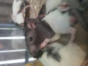 Beautiful young rats available at The Extreme Aquarium !