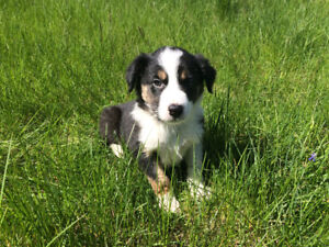 Cute Australian x border collie puppy