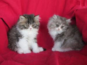 Adorable chaton persan