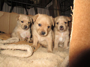 3 Yorkie/Chihuahua/Biewer Pups for Sale