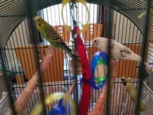 Male And Female Budgies Couple For Sale.