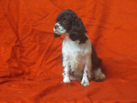 RARE Toy sized Cocker Spaniel Female 10lbs-10 inches at shoulder