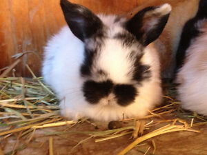 Beautiful holland lop bunnies for sale.
