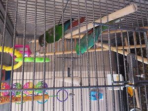 Green chick conure