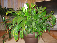 Peace Lily (Spathiphyllum) Plant