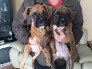 Boxer puppys