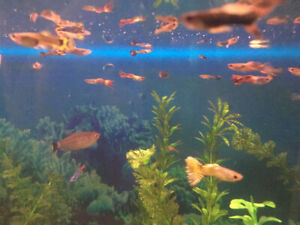 20+ Guppies to rehome